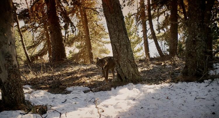 Visuel-Marche-avec-les-loups-3