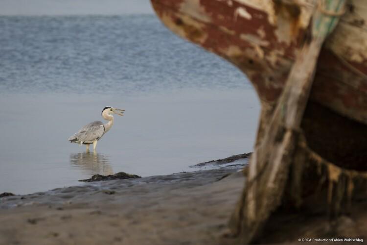 Heron_©ORCA Production:Fabien Wohlschalg